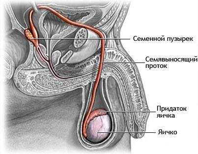 Схема расположения яичек