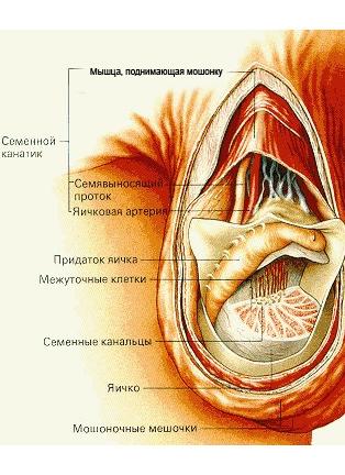 Схема мужского яичка у