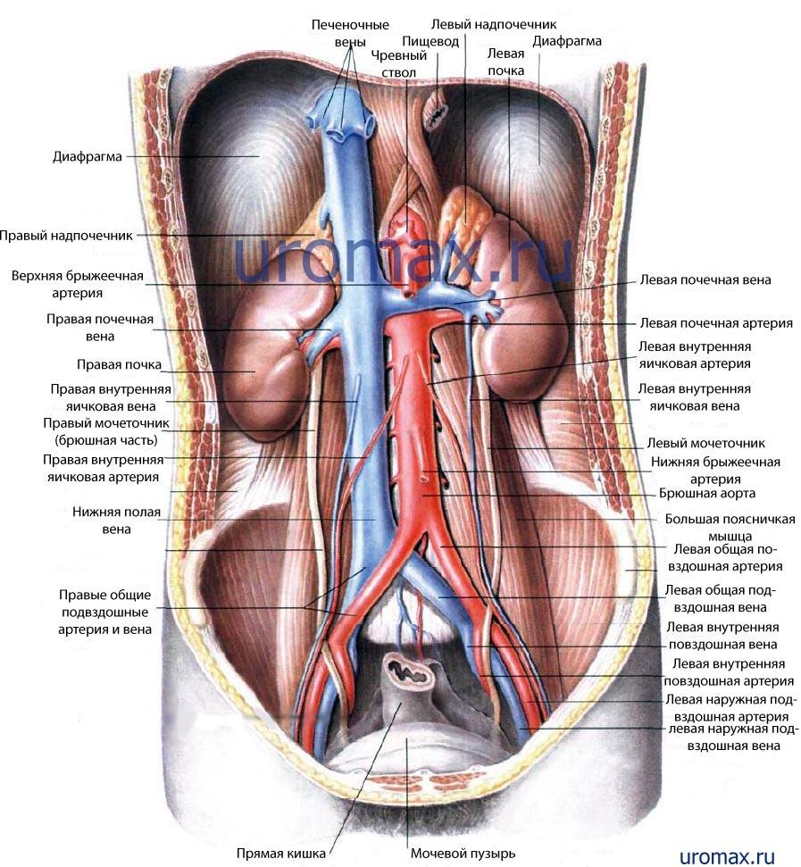 анатомия урология методы диагностики в урологии